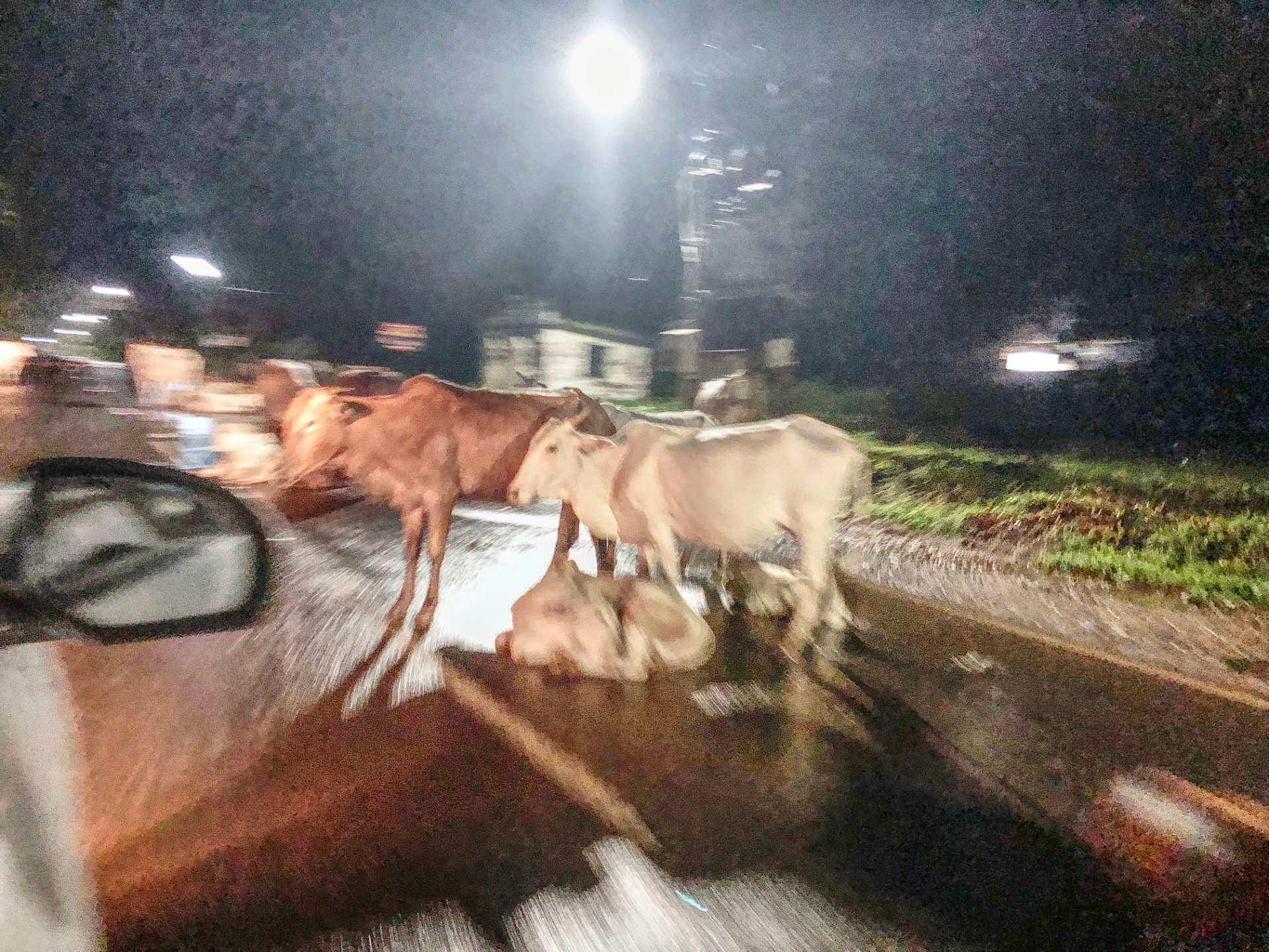 Indien Goa Highway Kühe sitzen auf der Straße