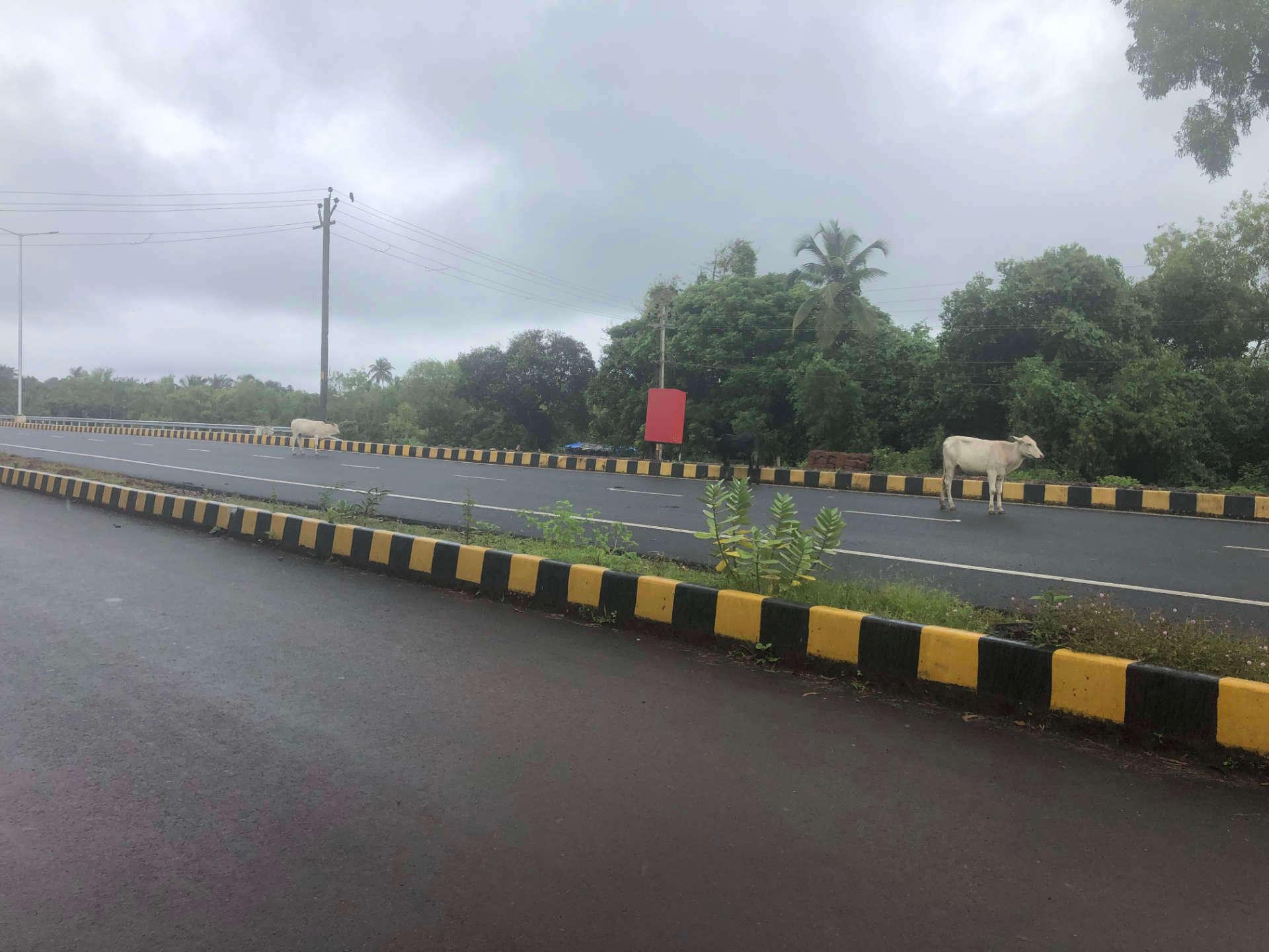 Indien Goa Highway und Kühe