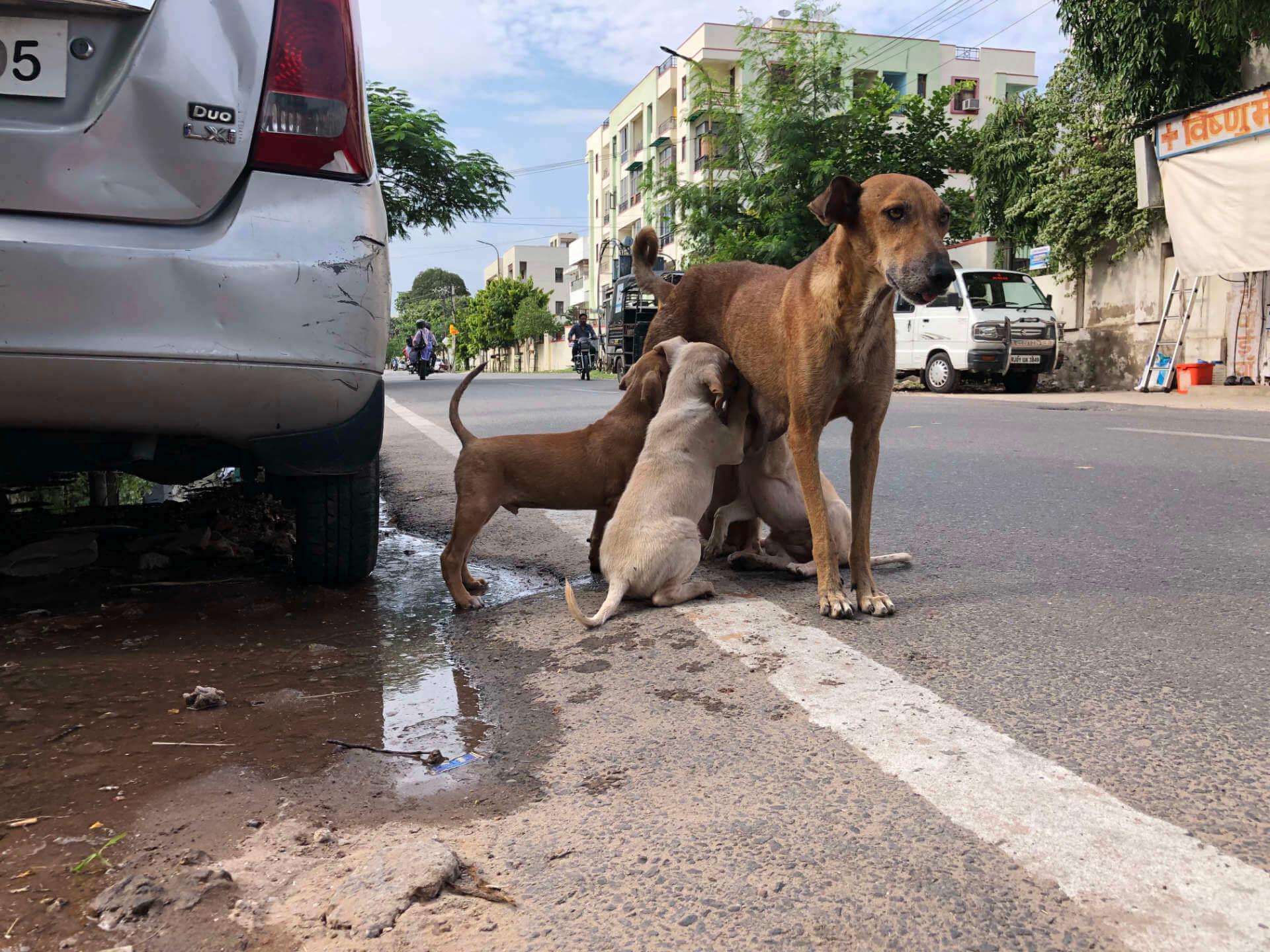 Strassenhunde in Jaipur