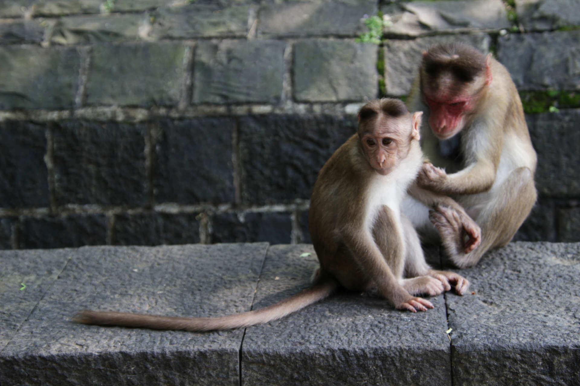 Indien Mumbai Elephanta Island Affe laust Kind