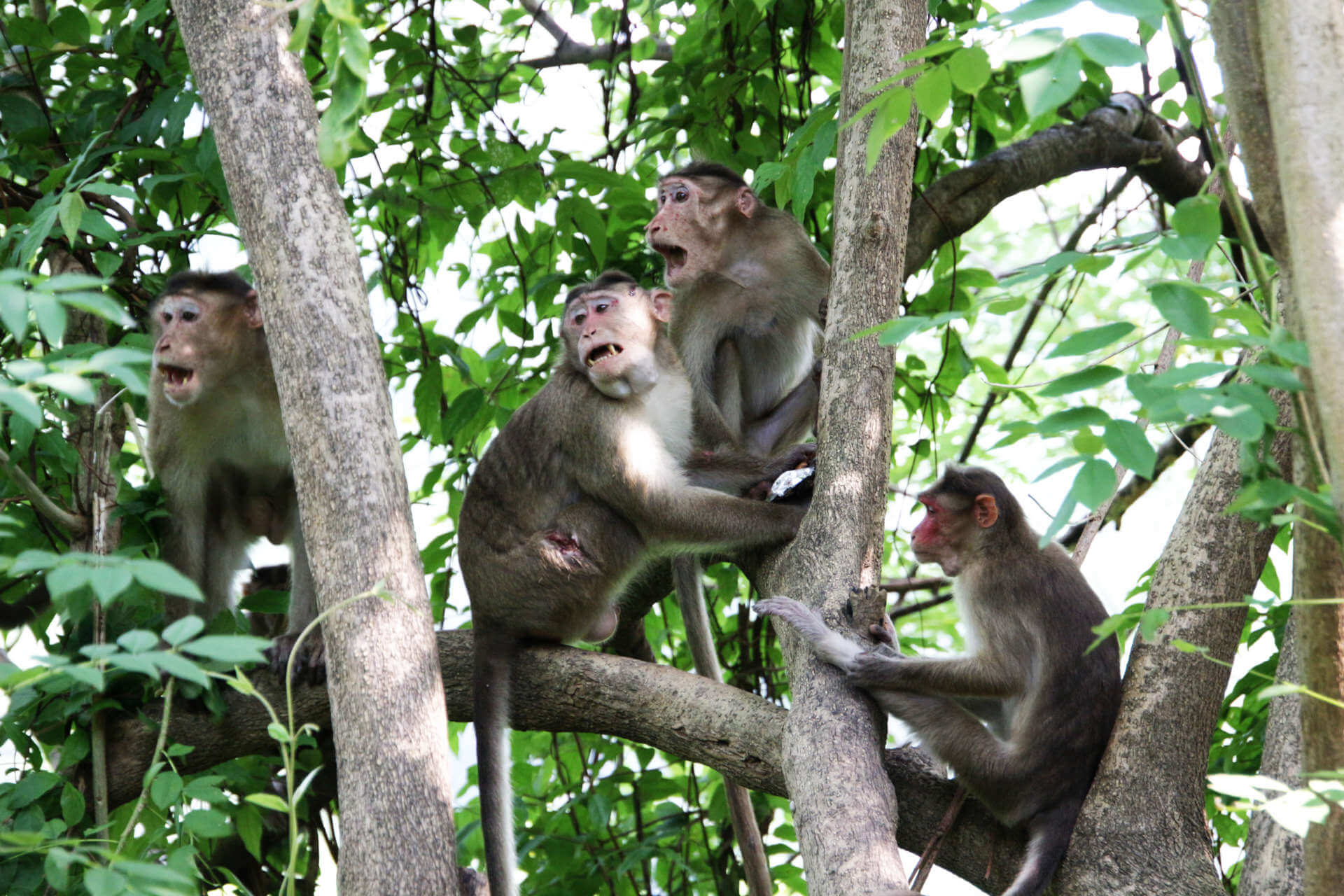 Indien Mumbai Elephanta Island Affen im Baum 2