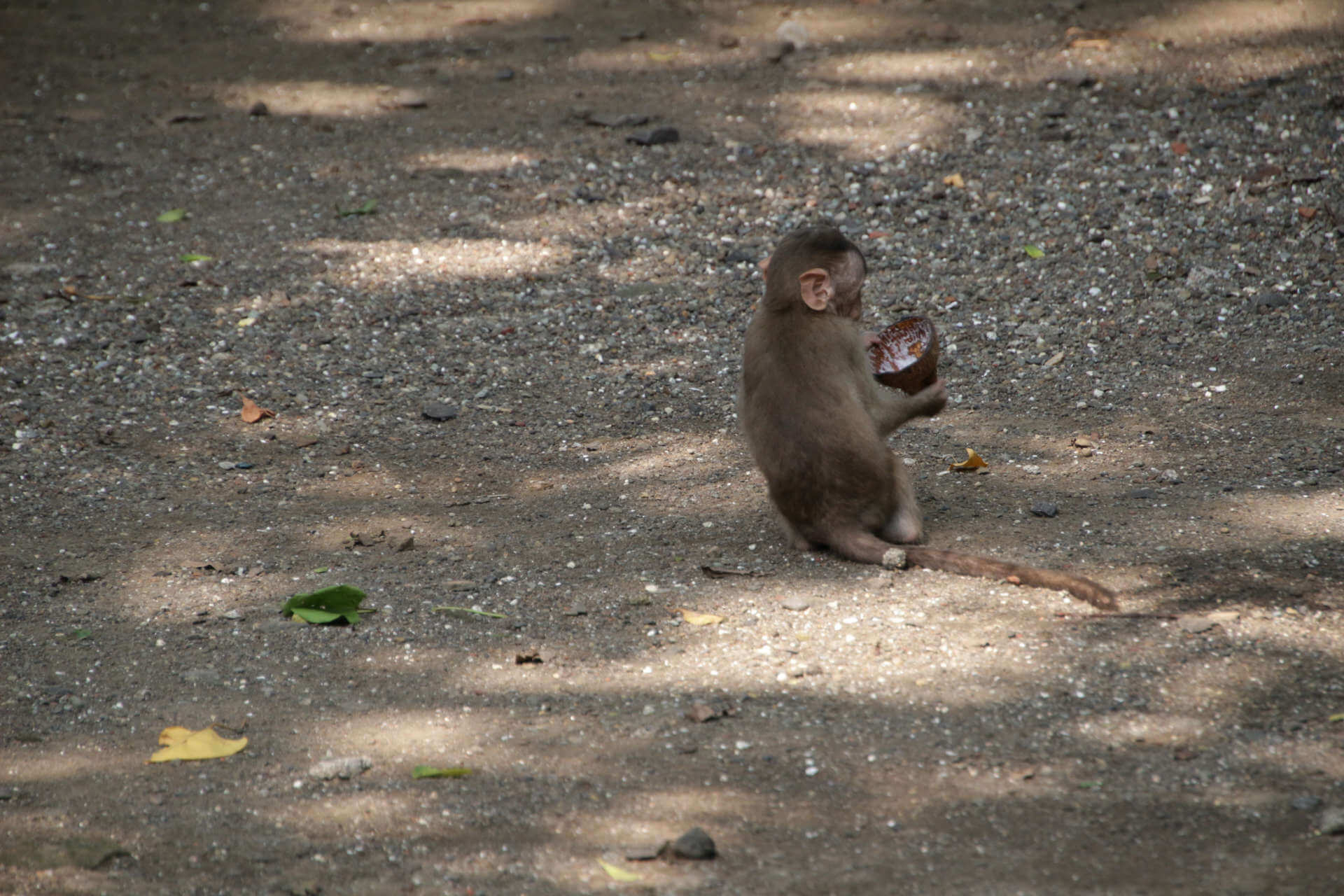 Indien Mumbai Elephanta Island Babyaffe isst