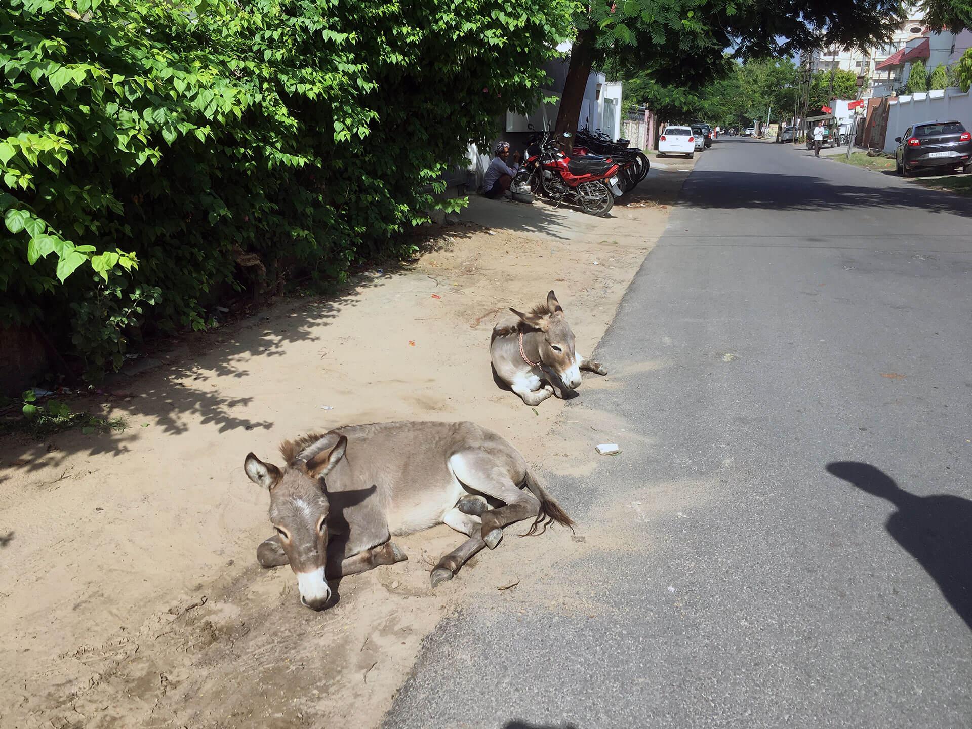 Esel auf der Straße von Jaipur