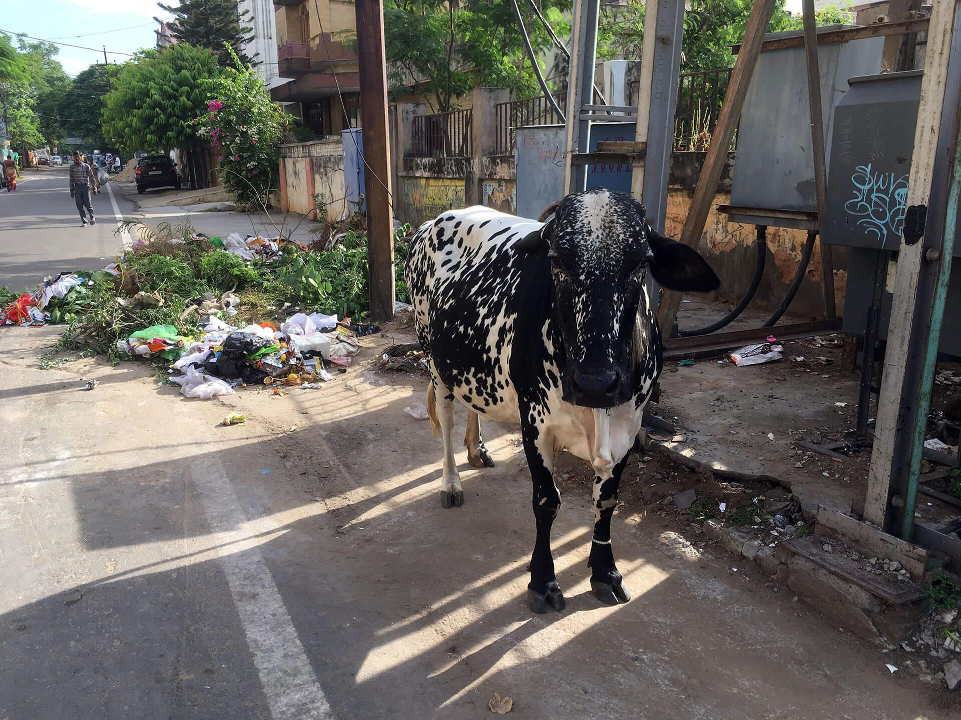 Kuh in Jaipur