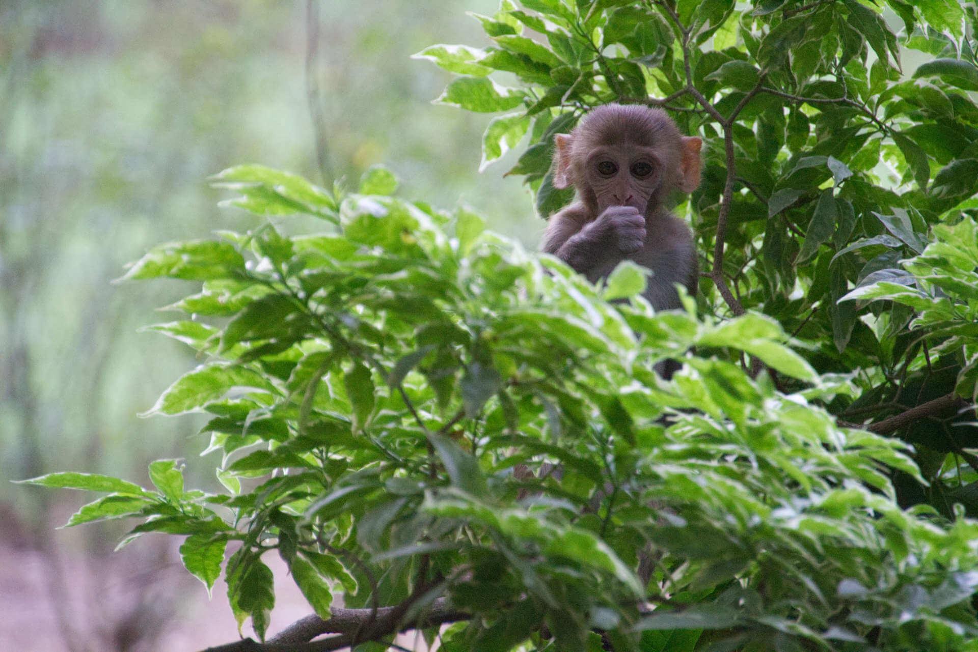 Affe in den Lodi Gärten in Neu-Delhi