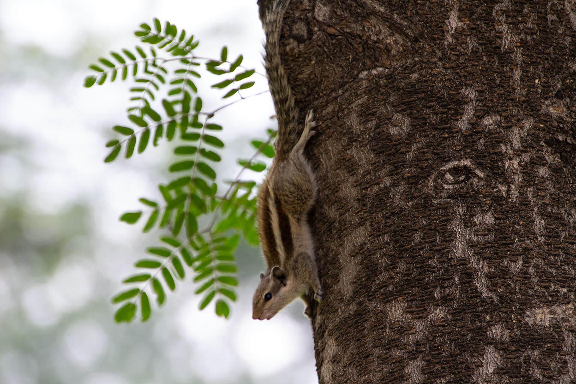 Streifenhörnchen in Neu-Delhi