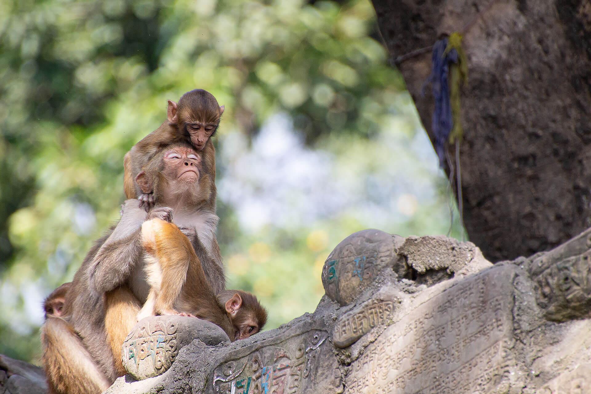 Affen am Swayabhunath-Tempel