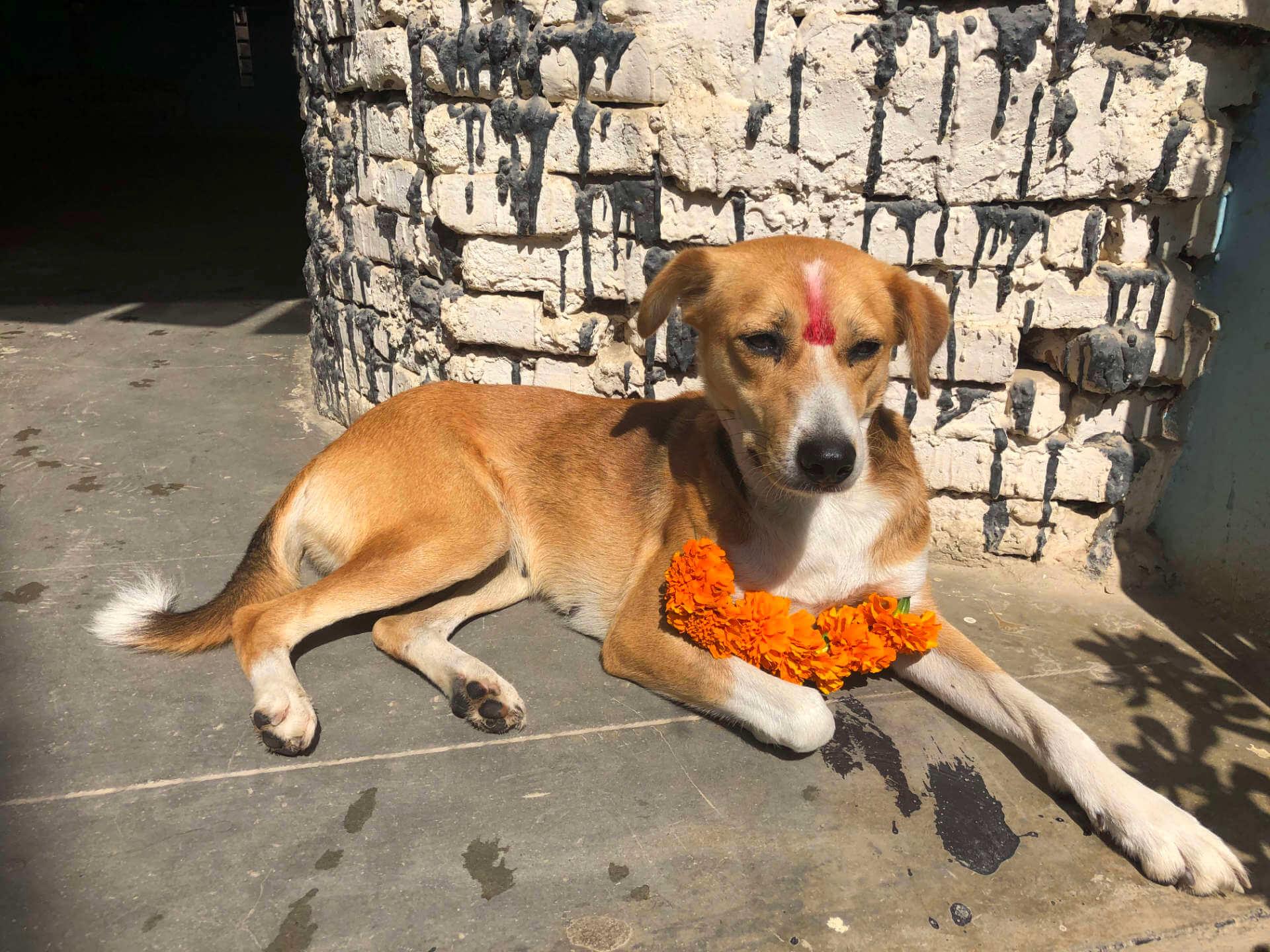 Tihar-Festival - Tag des Hundes