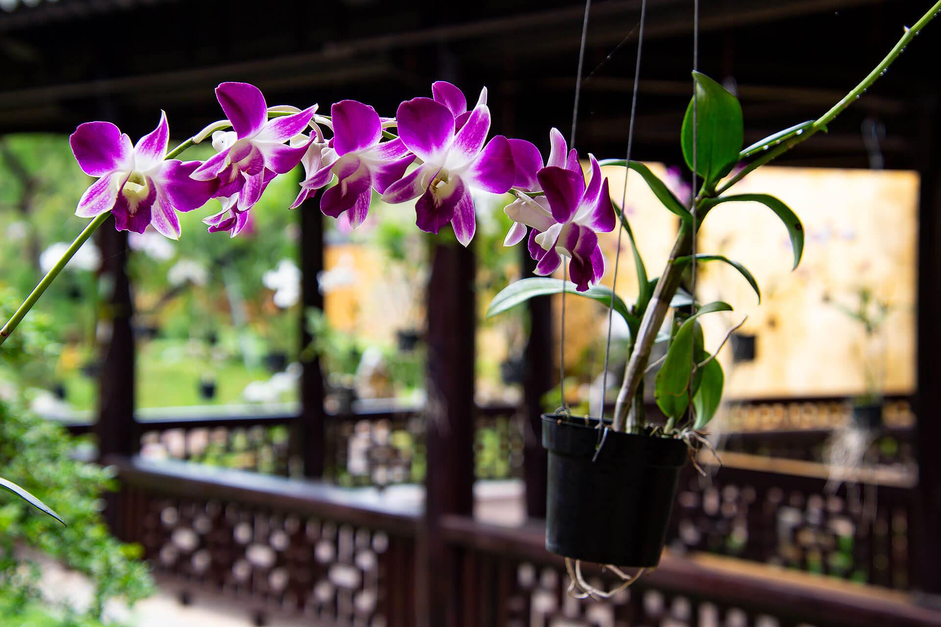 Orchidee beim Imperial Enclosure