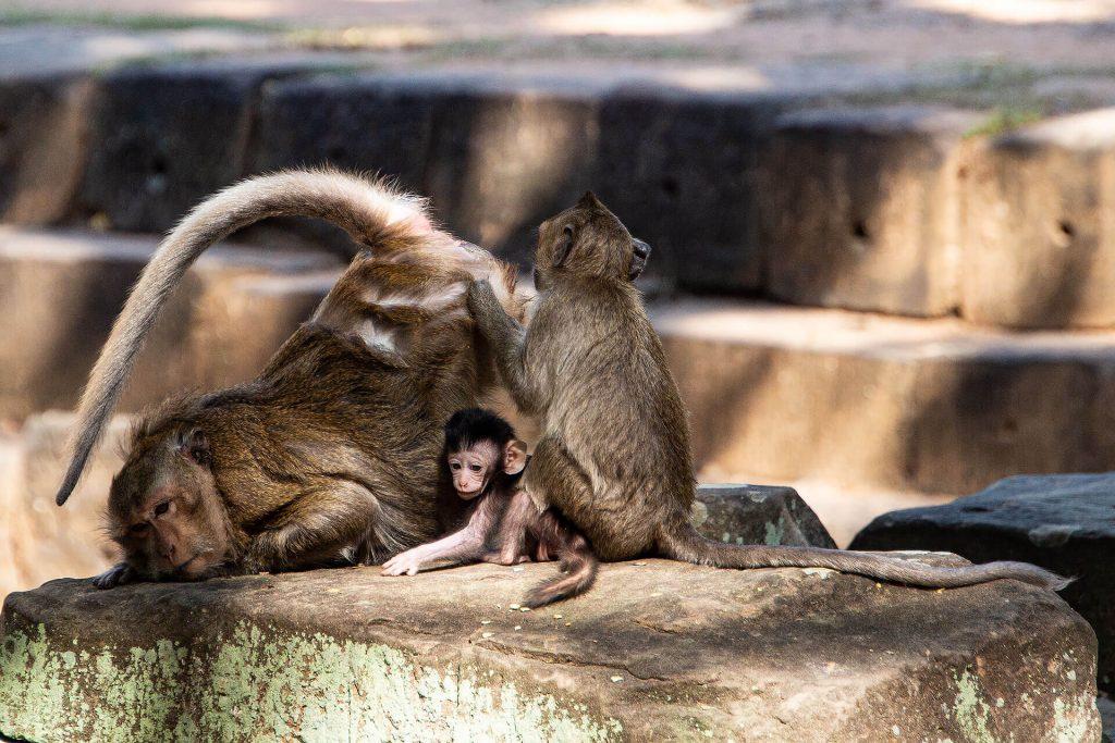Angkor Wat - Affenfamilie