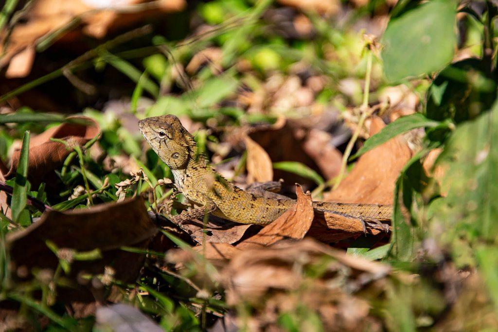 Angkor Wat - Gecko