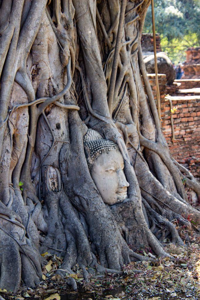 Buddha im Baum in Ayutthaya