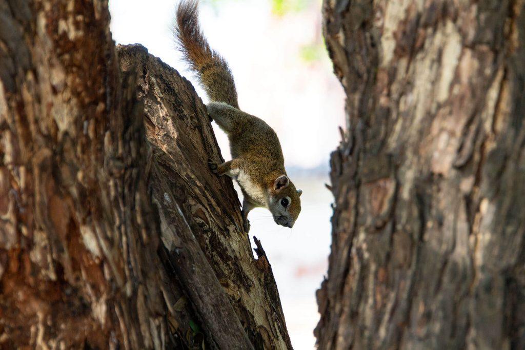 Eichörnchen in Ayutthaya