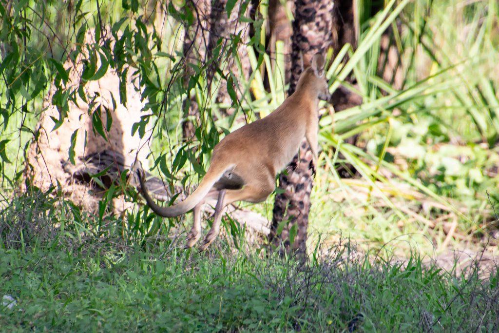 Känguru im Kakadu Nationalpark