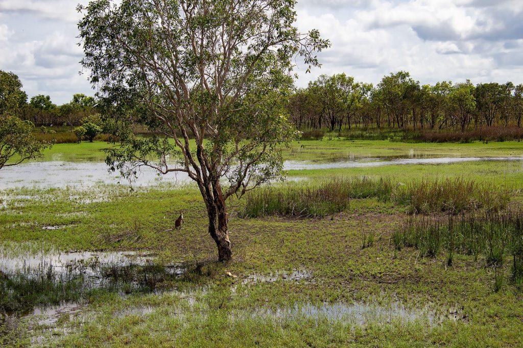 Känguru im Wetland vom Kakadu Nationalpark