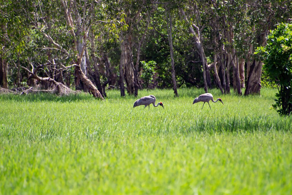 Brolgakranich im Kakadu Nationalpark