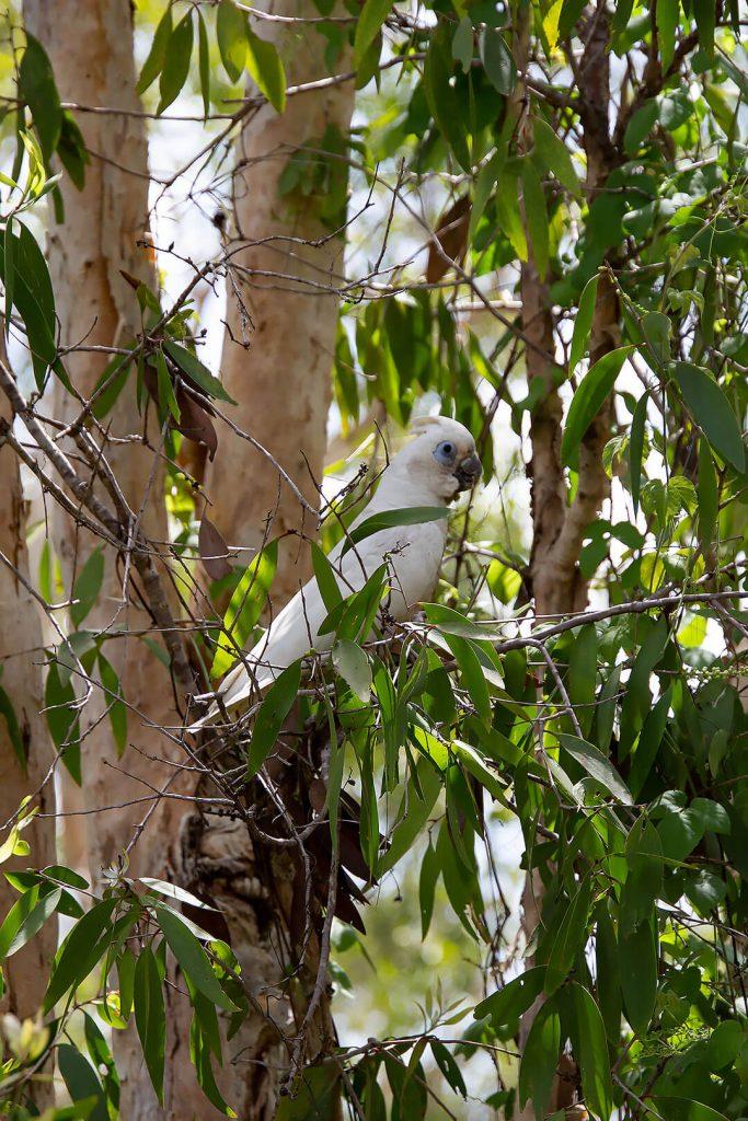 Nacktaugenkakadu im Kakadu Nationalpark