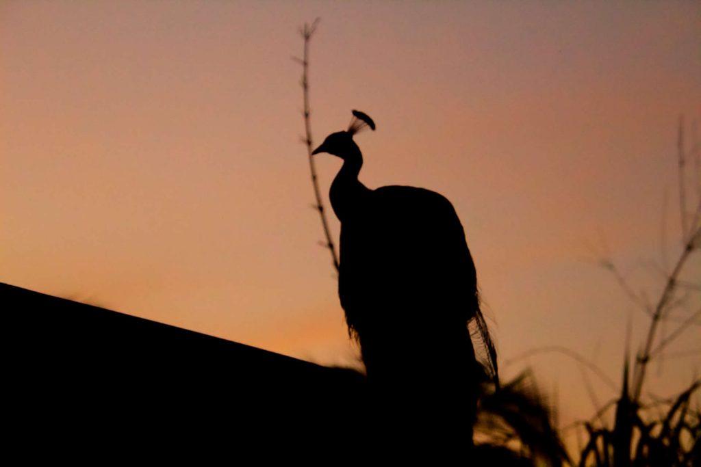 Pfau auf einer Farm beim Sonnenuntergang in Berry Springs