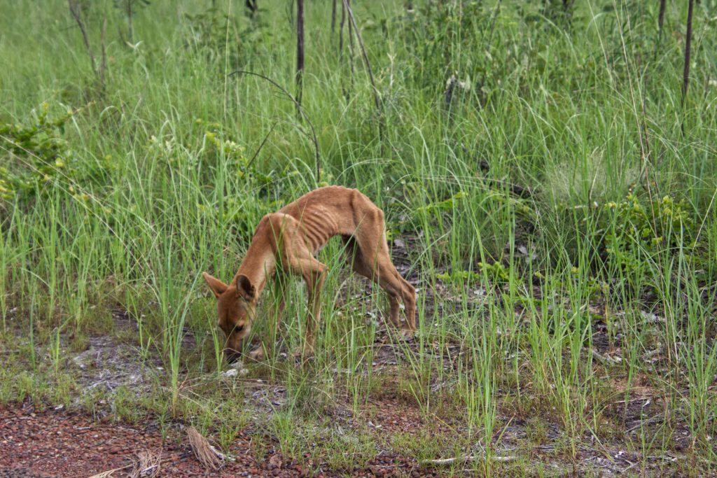 Abgemagerter Dingo im Litchfield National Park