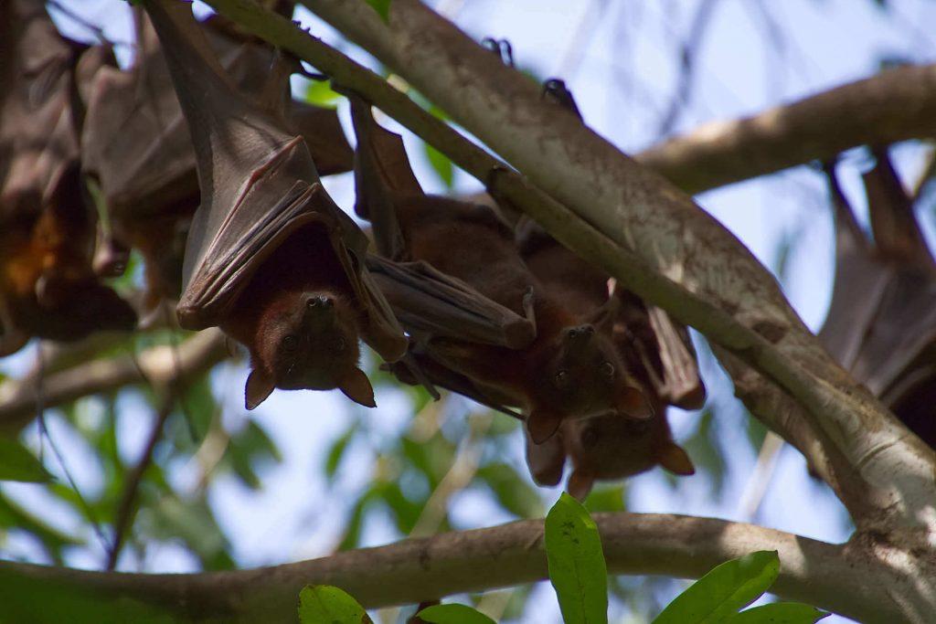 Fledermäuse hängen vom Baum im Litchfield National Park