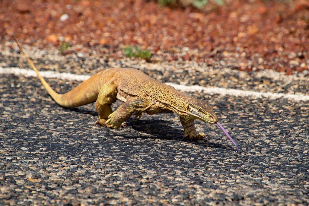 Waran auf der Straße in Australien