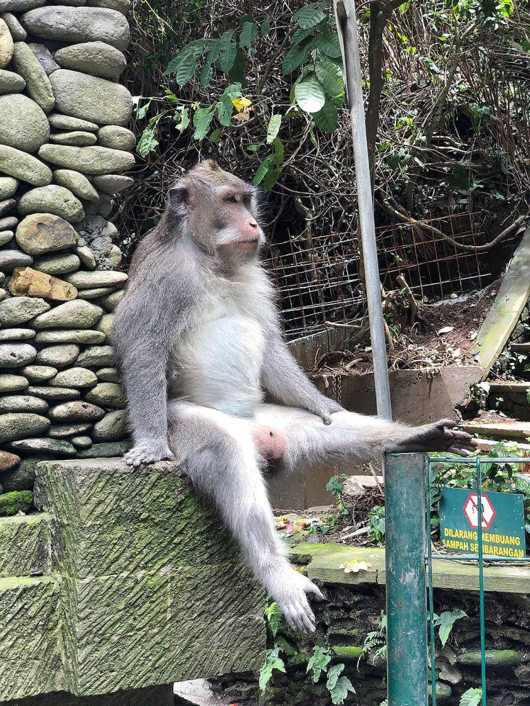 Affe im Sacred Monkey Forest Sanctuary Ubud