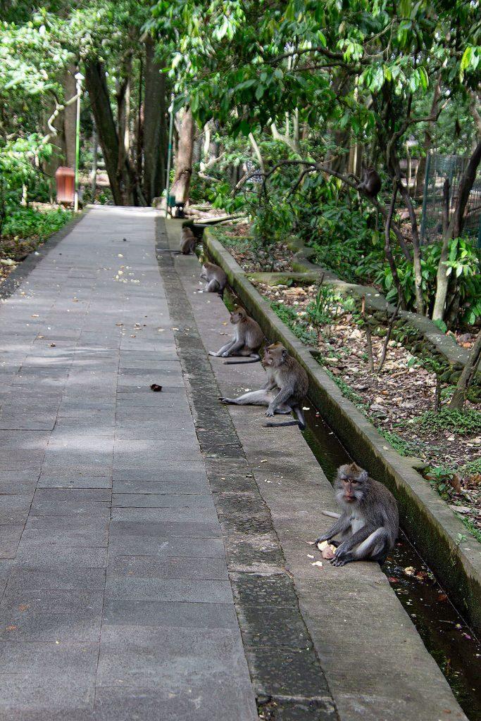 Affen im Sacred Monkey Forest Sanctuary Ubud