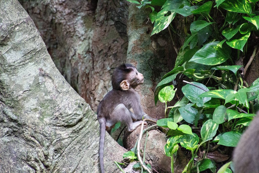 Babyaffe im Sacred Monkey Forest Sanctuary Ubud