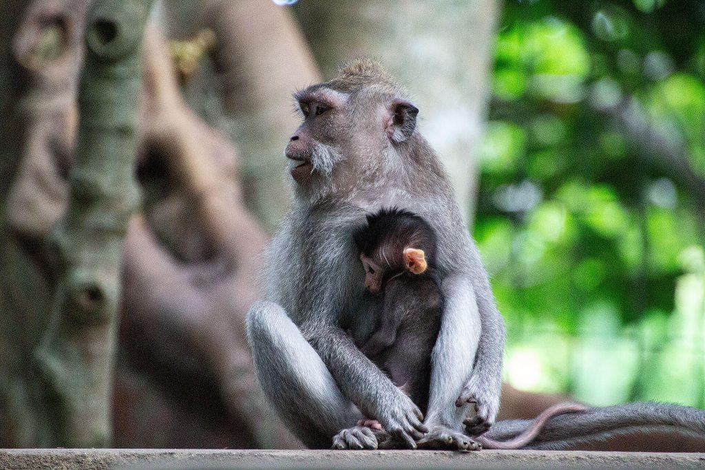 Mutter mit Babyaffe im Sacred Monkey Forest Sanctuary Ubud
