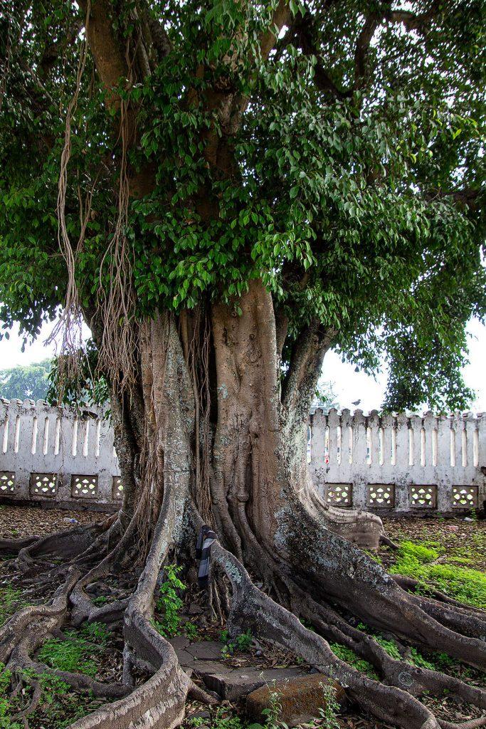 Baum im Alun Alun Utara Park in Yogjakarta