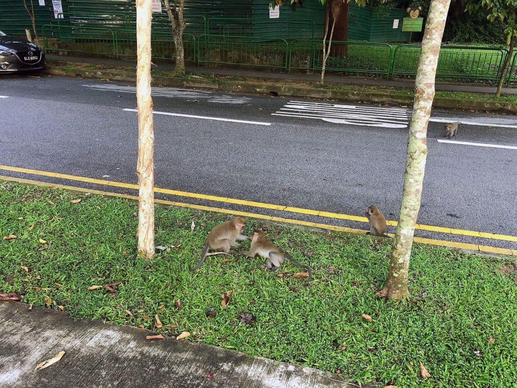 Affen im Bukit Timah Nature Reserve