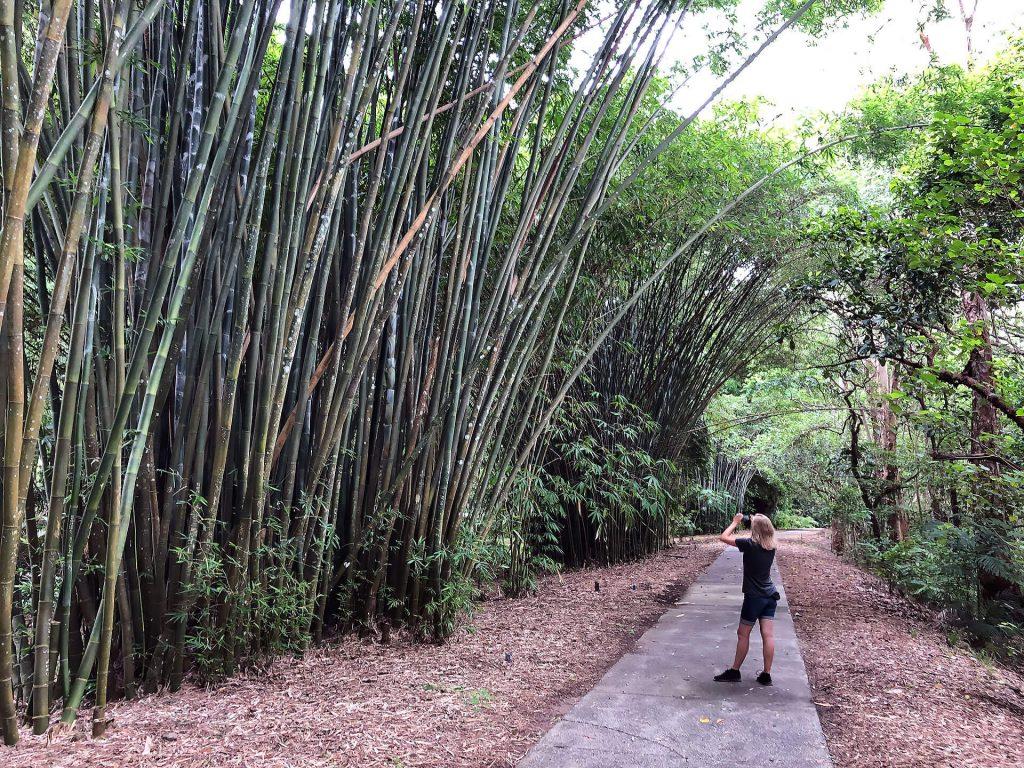 Bambus im Botanischen Garten Cairns