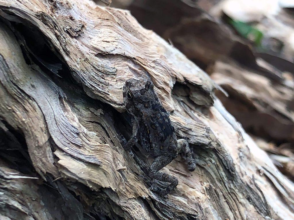 Frosch im Botanischen Garten Cairns