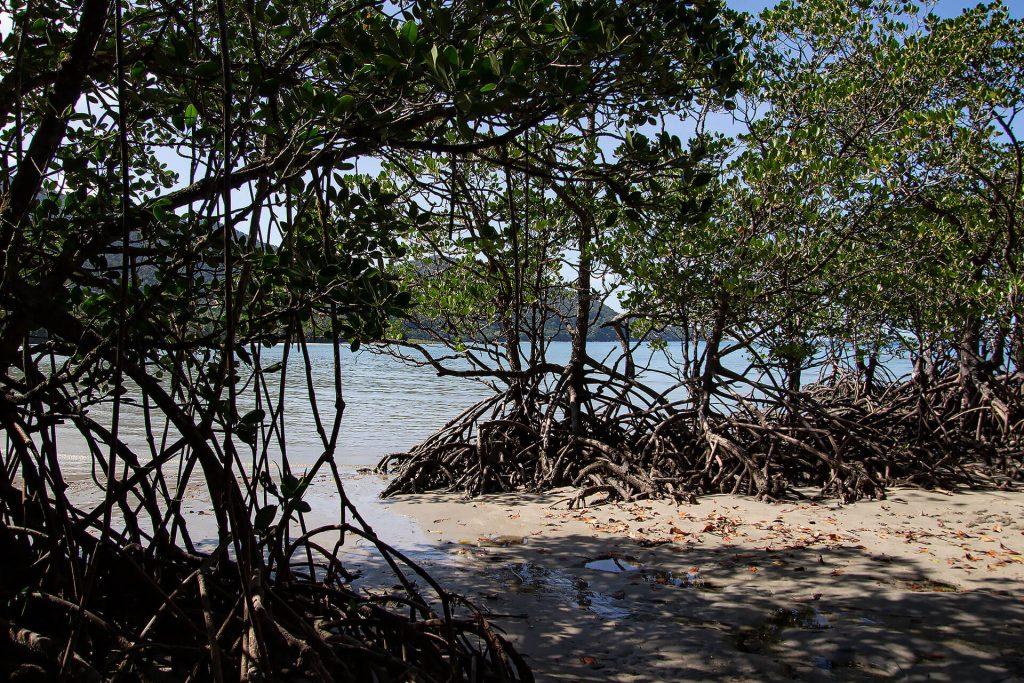 Mangroven am Cape Tribulation