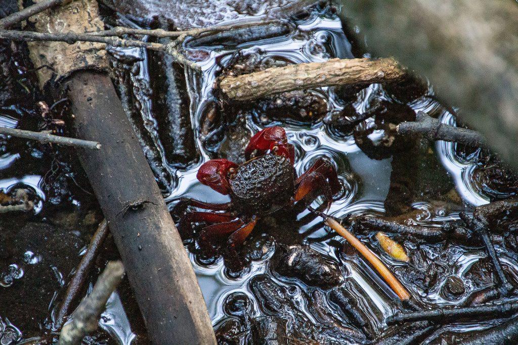 Krebs im Daintree Rainforest