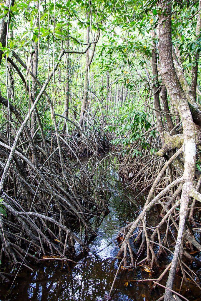 Mangroven im Daintree Rainforest