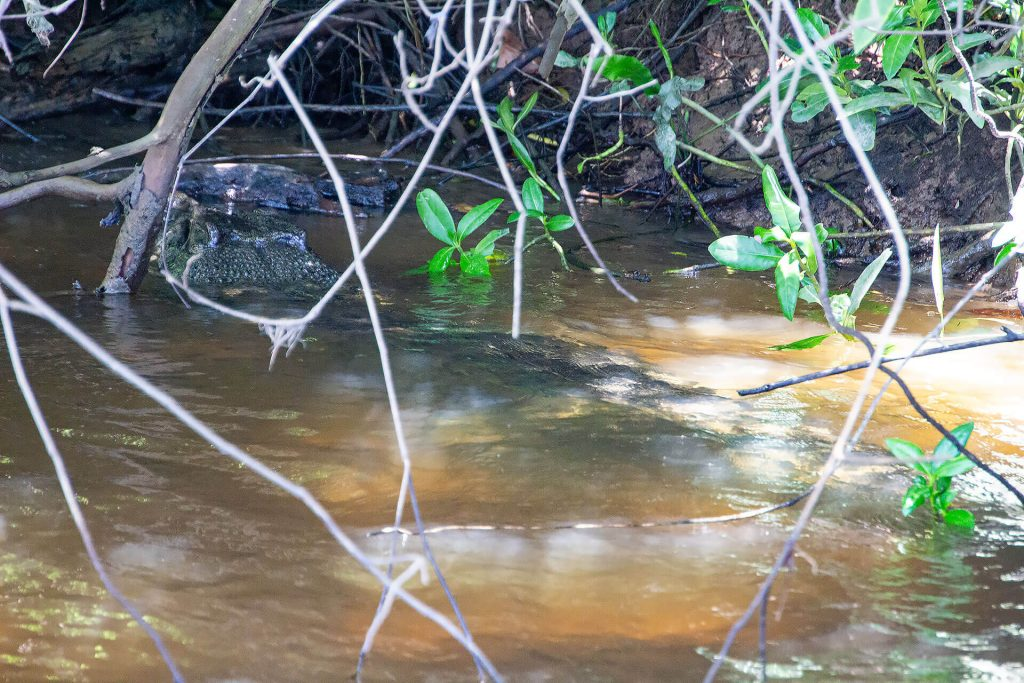 Krokodil im Daintree River