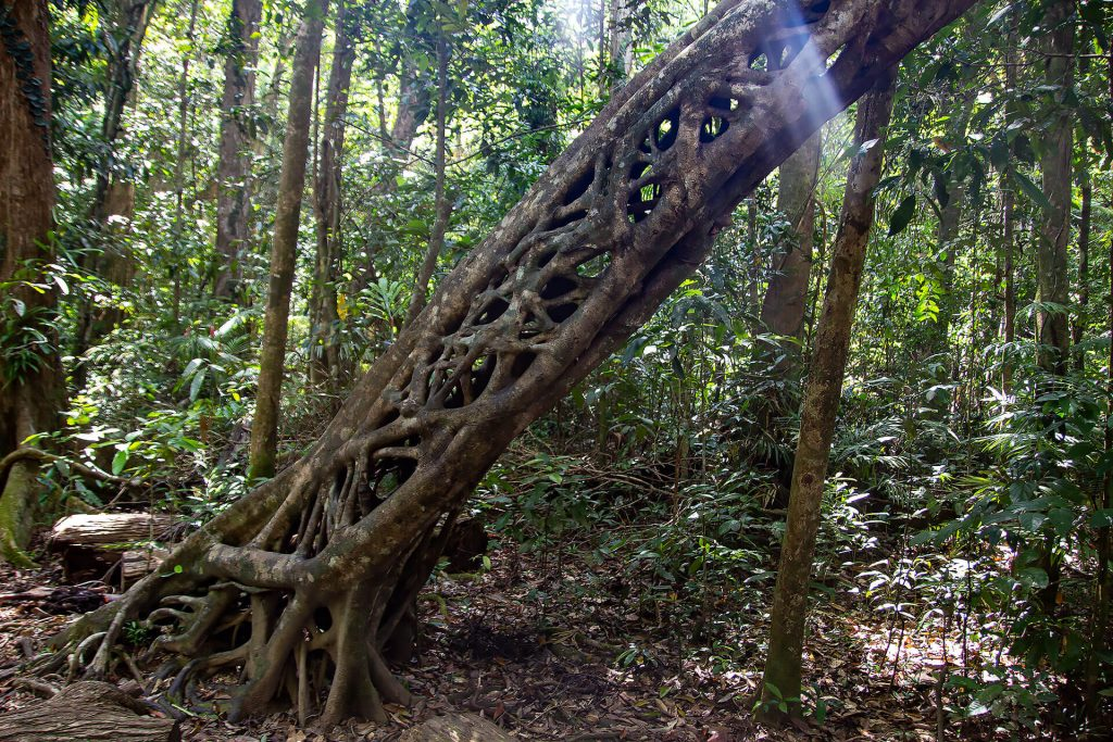 Baum im Daintree Rainforest (Marrja Botanical Walk)