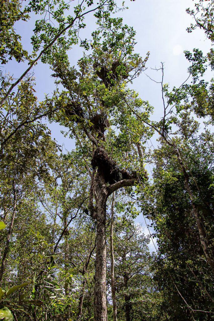 Daintree Rainforest (Marrja Botanical Walk)