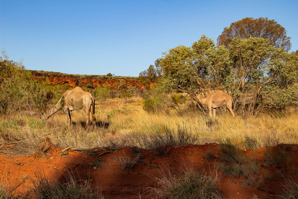 Kamele am Larapinta Drive