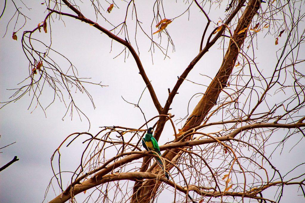 Vogel im Outback