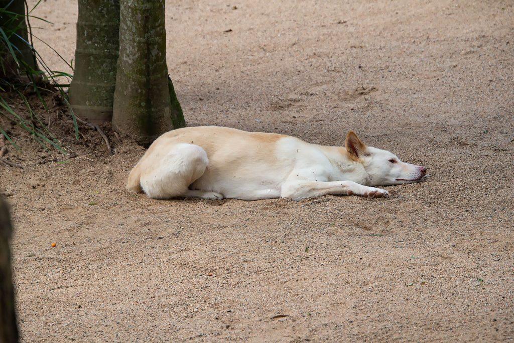 Dingo am ausruhen
