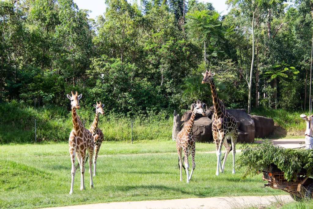 Giraffen Horde