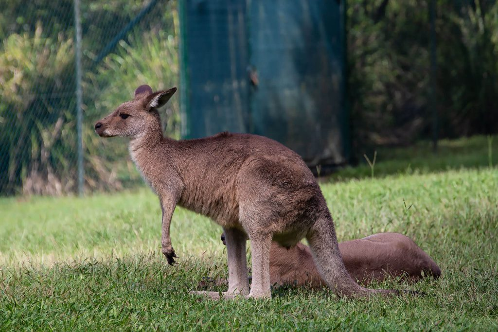 Wallaby auf der Wiese