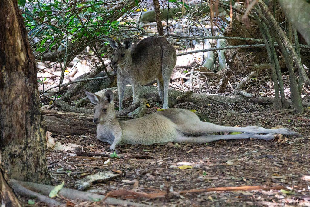 Kängurus im Gebüsch