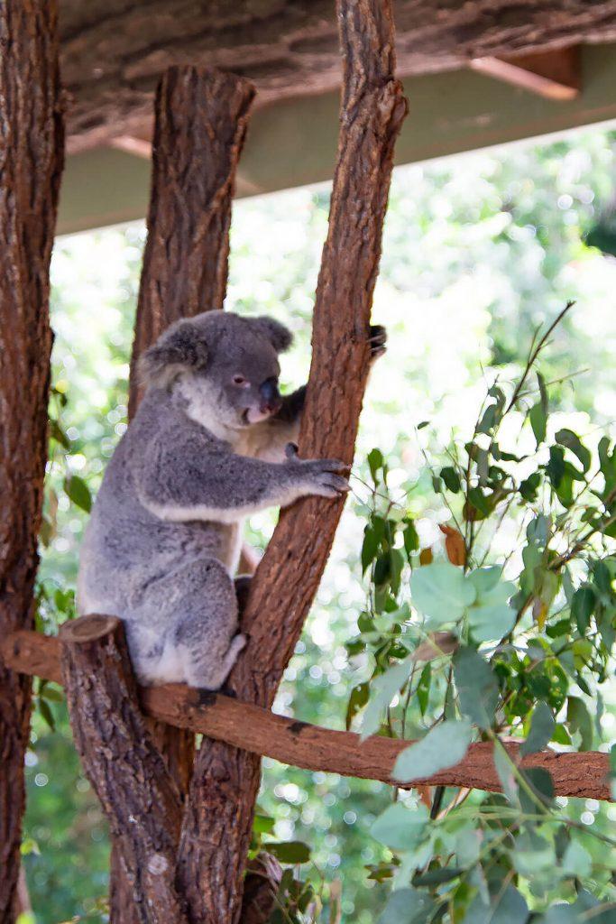 Koala hält sich am Baum fest