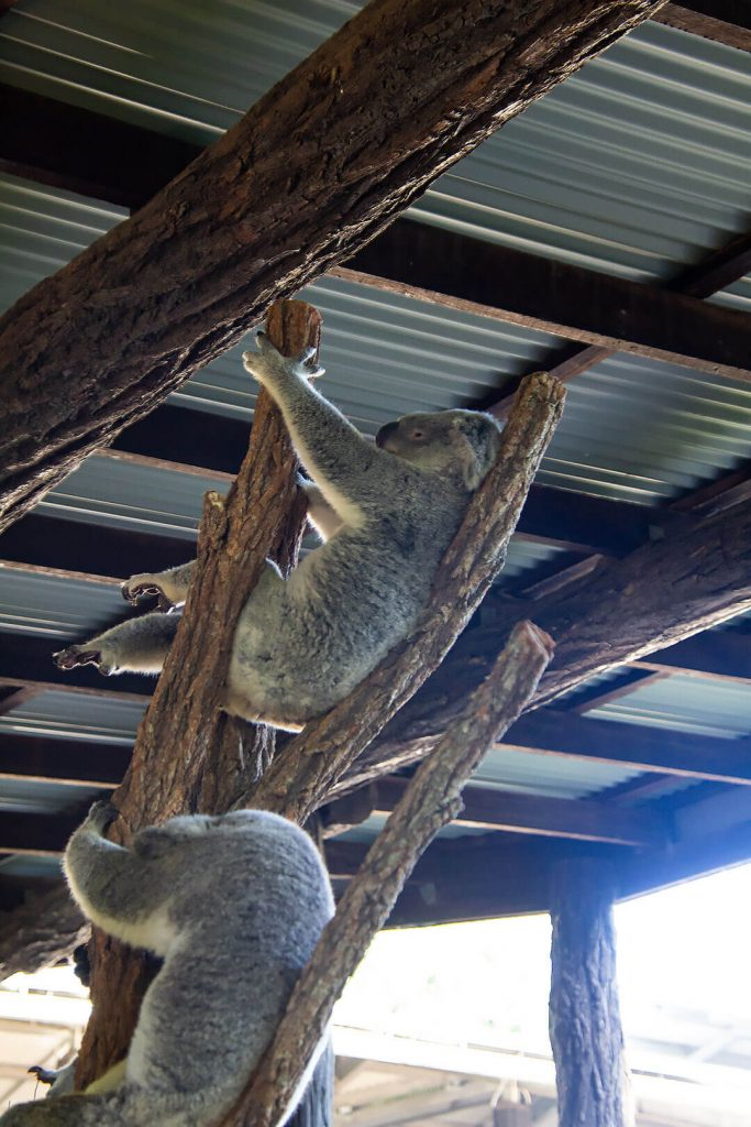 Koala hängt ab