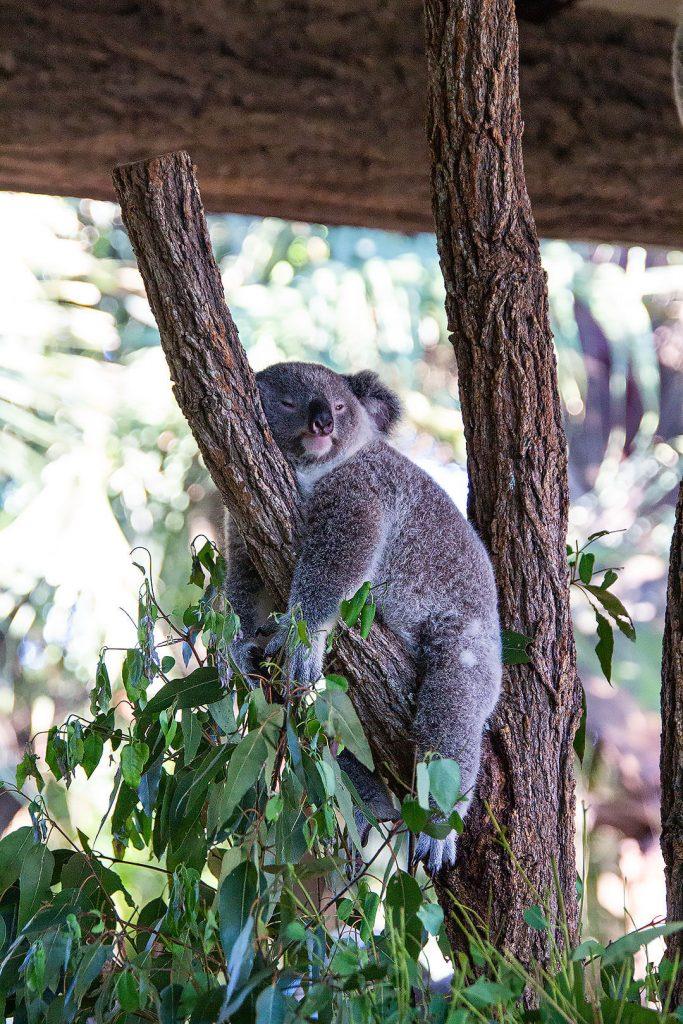 Koala chillt richtig ab