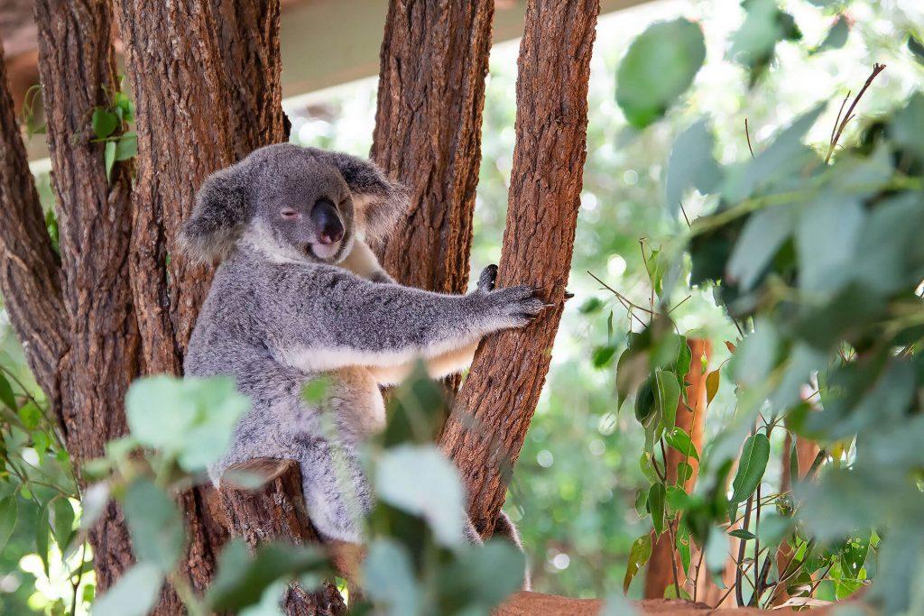 Koala chillt im Baum