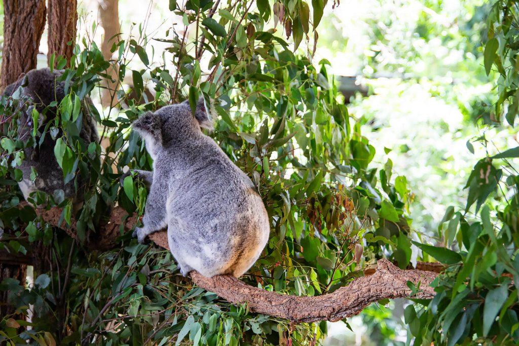 Des Koalas Rücken kann entzücken